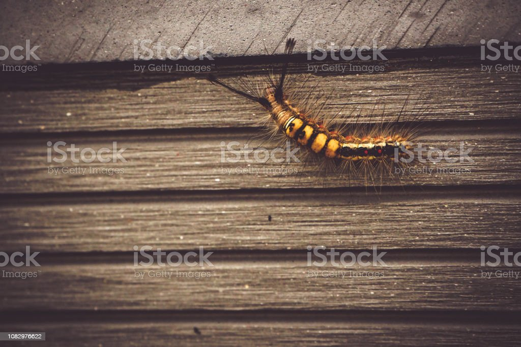 caterpillar animal insect bug in nature walking on old wood wall of...