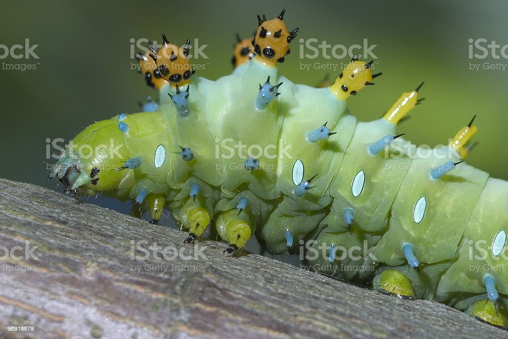 Caterpillar, Cecropia Moth royalty-free stock photo