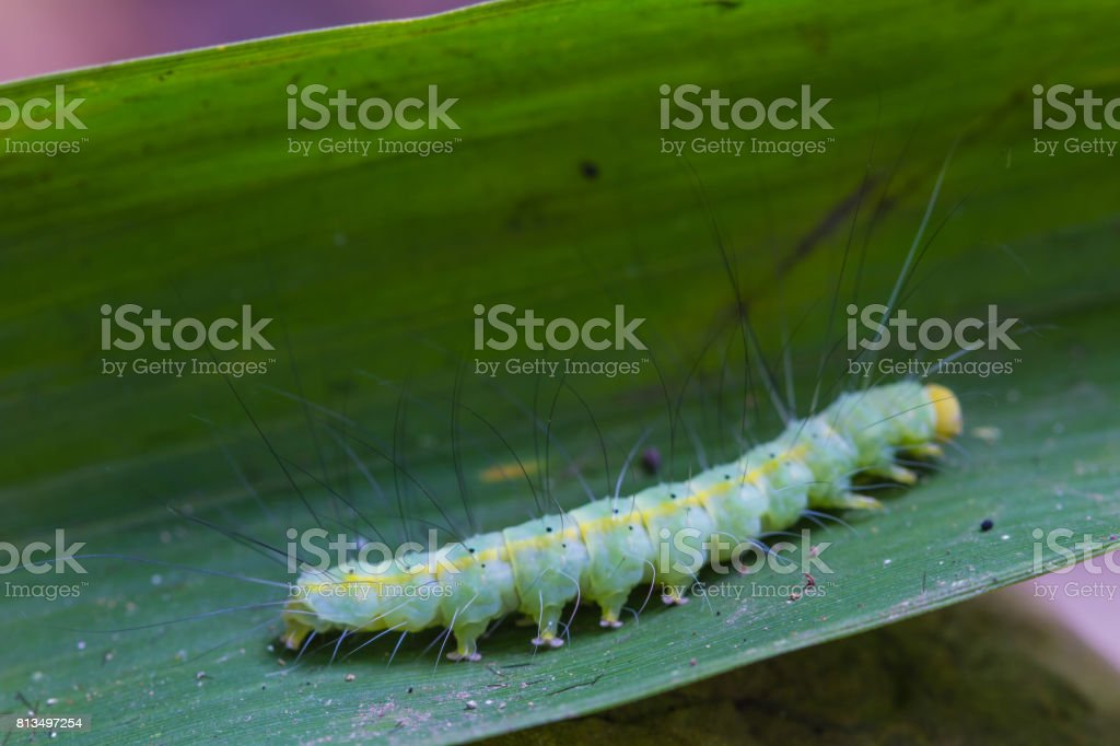 caterpillar, close up caterpillar in tropical forest stock photo