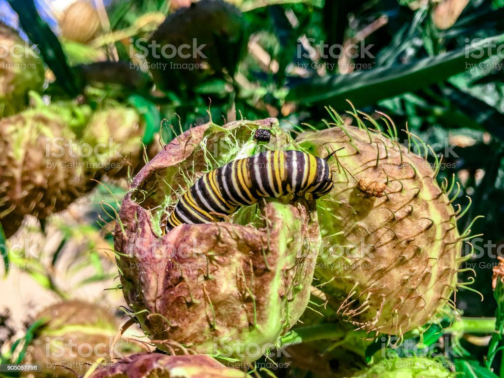 Caterpillar crawling on a thorny plant stock photo