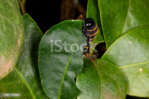 Caterpillar eating leaf on a tree.