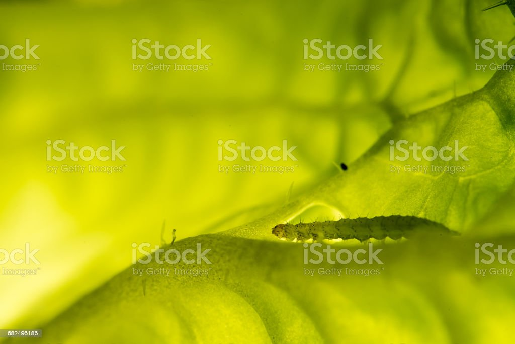 Caterpillar eating royalty-free stock photo