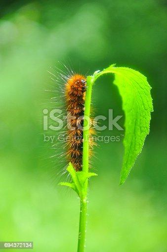 istock Caterpillar feeding on a leaf in garden and make damage. 694372134