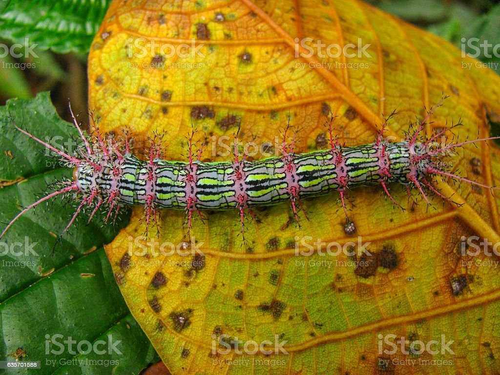 Caterpillar in the Bolivian cloud forest. royalty-free stock photo
