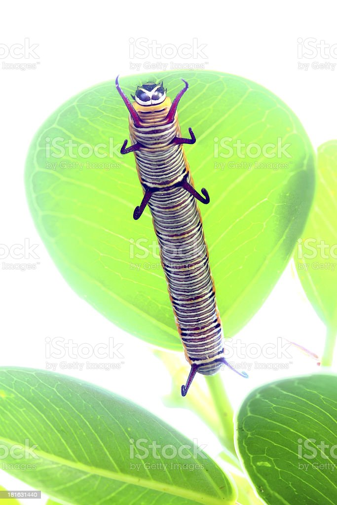 caterpillar is crawling on a leaf royalty-free stock photo