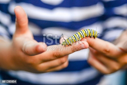 Child holds a Monarch butterfly caterpillar in small hands with care