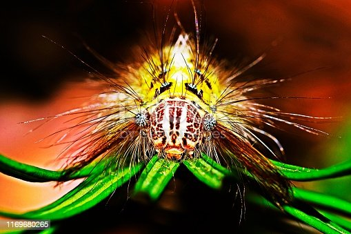Caterpillar looking at camera from Cycad leaf.