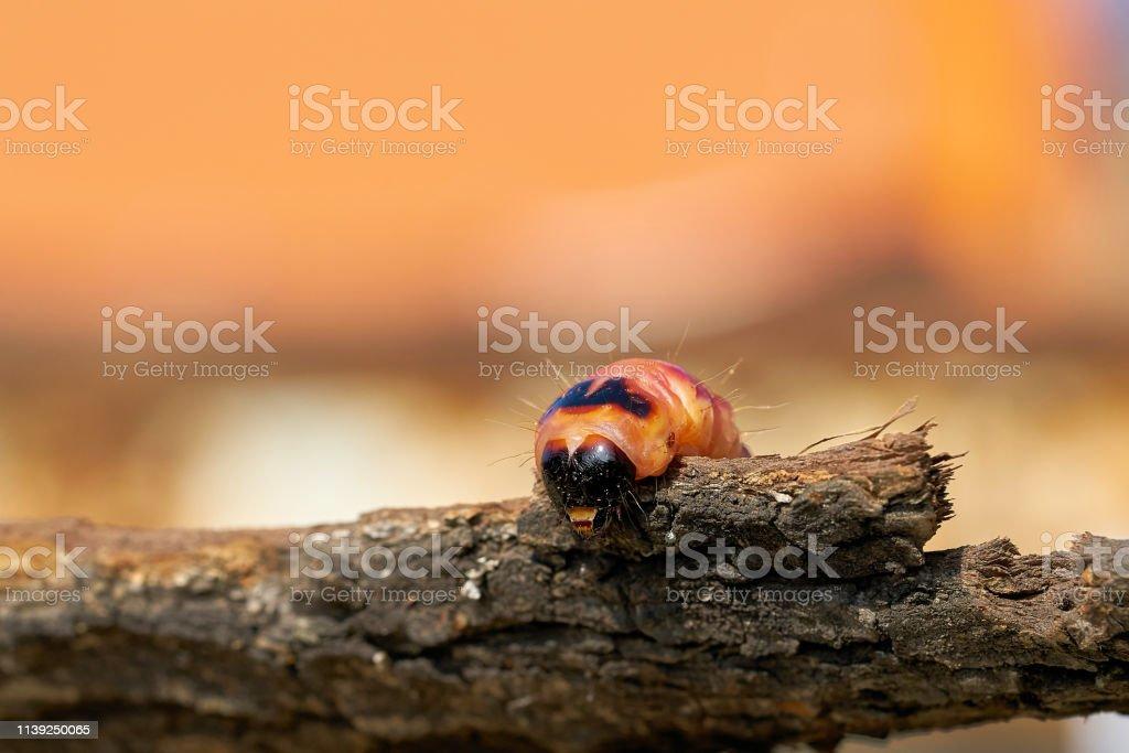 Raupe der Ziegenmotte (Cossus Cossus) – Foto