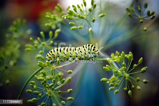 Papilio machaon on fresh green fragrant dill Anethum graveolens in the garden. Garden plant. Caterpillar feeding on dill. butterfly known as the common yellow swallowtail.
