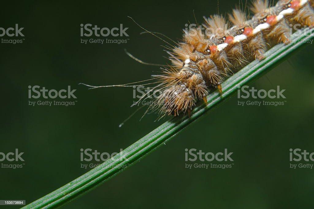 Caterpillar of Acronicta rumicis ( Knot Gras ) stock photo