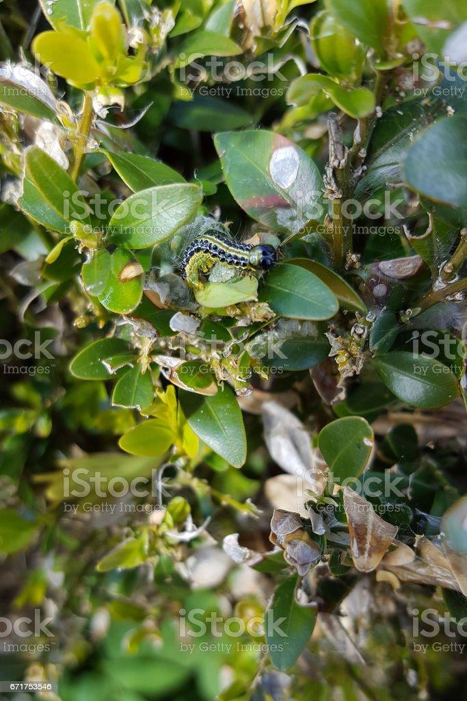 Caterpillar of Box tree moth on damaged Boxwood stock photo