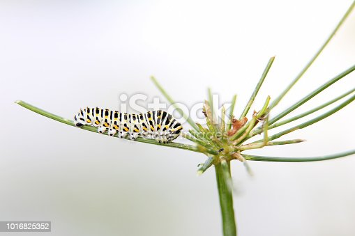 caterpillar of butterfly swallowtail - machaon, feeds on dill - fennel, side view, white background