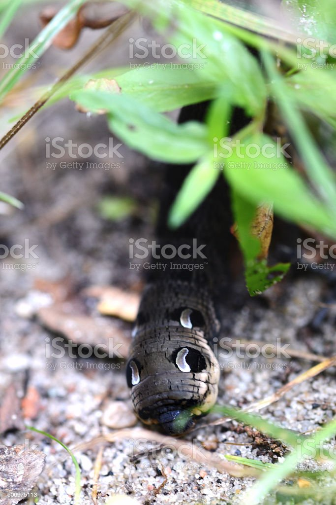 caterpillar of elephant hawk moth (Deilephila elpenor) stock photo