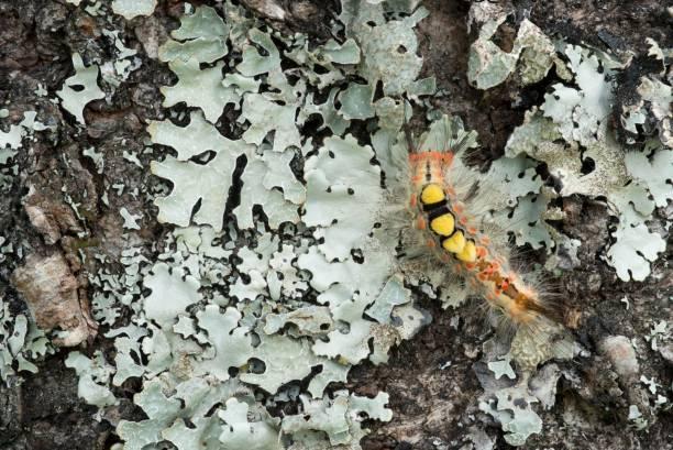 Oruga de Orgyia antiqua, la polilla oxidada de tussock - foto de stock