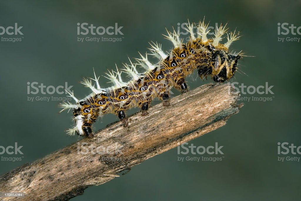 caterpillar of Papilionidae in the head branch royalty-free stock photo