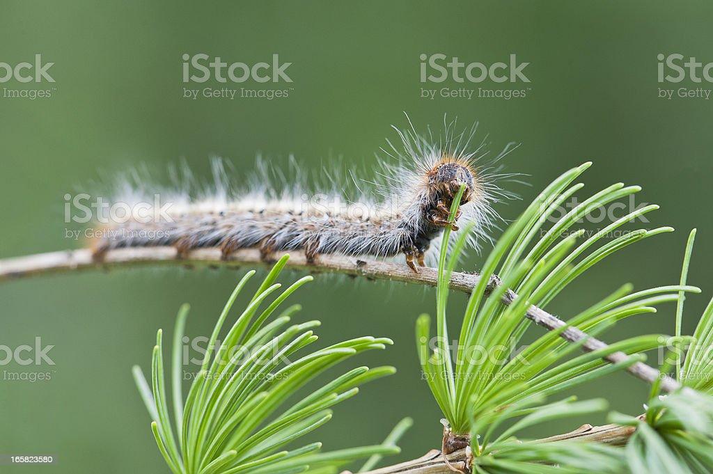 Caterpillar de Pine Processionary - foto de acervo