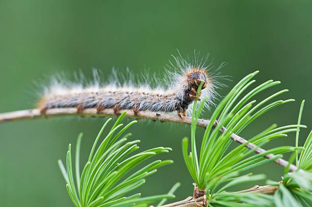 caterpillar de pine processionary - lagarta - fotografias e filmes do acervo