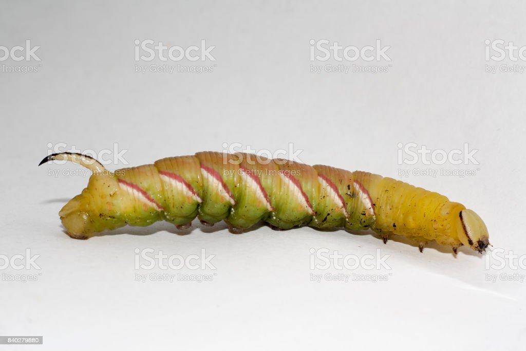 caterpillar of sphinx ligustri stock photo