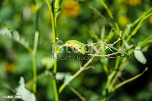 Caterpillar of Spice Swallowtail Butterfly on Leaf