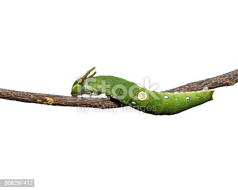 538988558istockphoto Caterpillar of Tawny Rajah butterfly on white 506297412