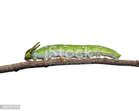 538988558istockphoto Caterpillar of Tawny Rajah butterfly on white 506297426
