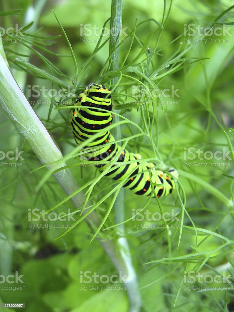 Caterpillar of the butterfly machaon on fennel royalty-free stock photo
