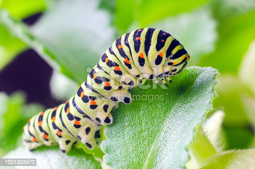 Caterpillar of the Machaon crawling on green leaves close-up