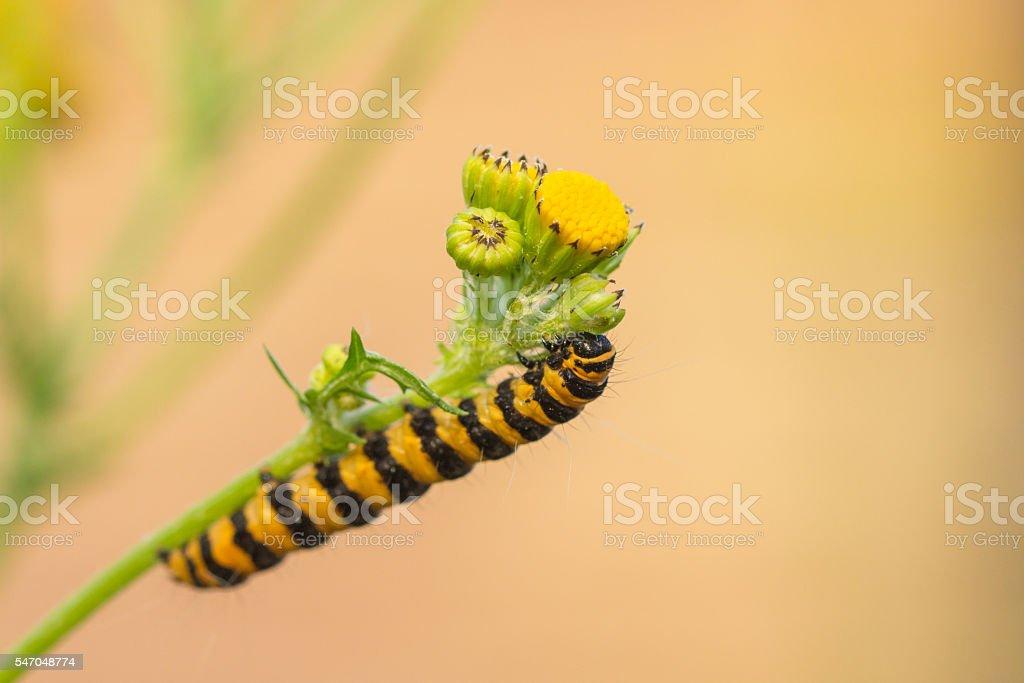 Caterpillar of Tyria jacobaeae stock photo