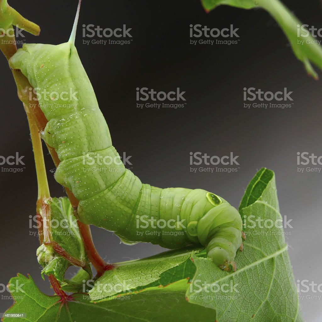 Caterpillar on a grape leaf. royalty-free stock photo