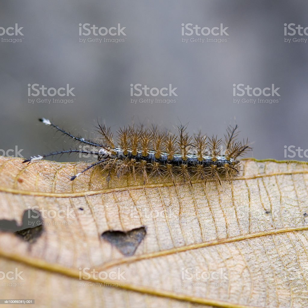 Caterpillar on dry leaf royalty-free stock photo
