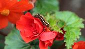 Caterpillar on a red flower.