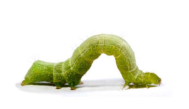 caterpillar no fundo branco - lagarta - fotografias e filmes do acervo