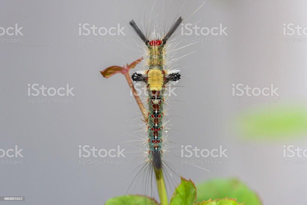 Caterpillar or Hairy Caterpillar stock photo