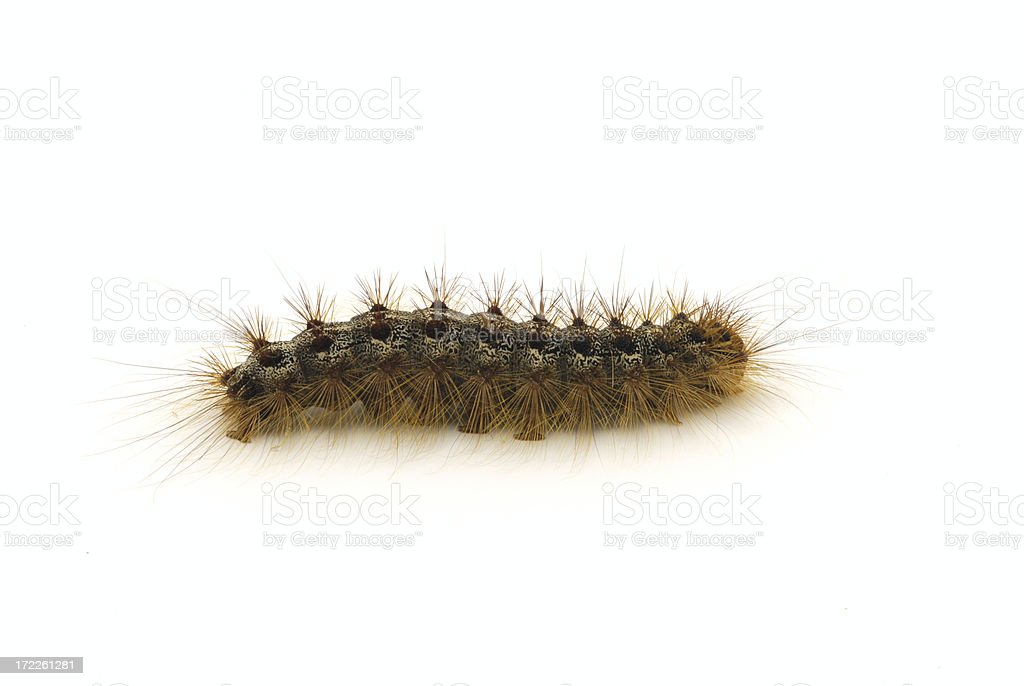 Caterpillar (Lymantria dispar) royalty-free stock photo