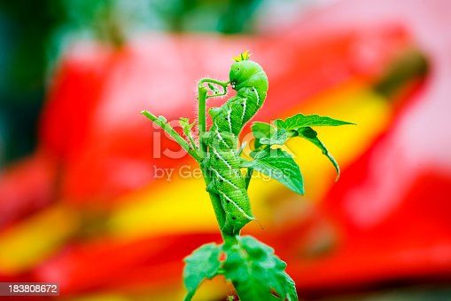 Caterpillar feeding on a young tomato plant