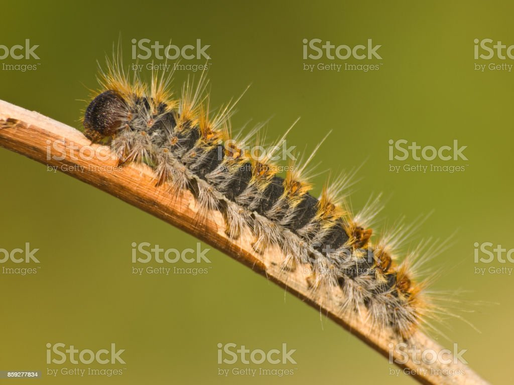 Caterpillar Pine Processionary species Thaumetopoea pityocampa on natural green background stock photo