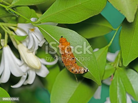 538988558istockphoto Caterpillar Pupate on Green Leaf Isolated on Background 996000944