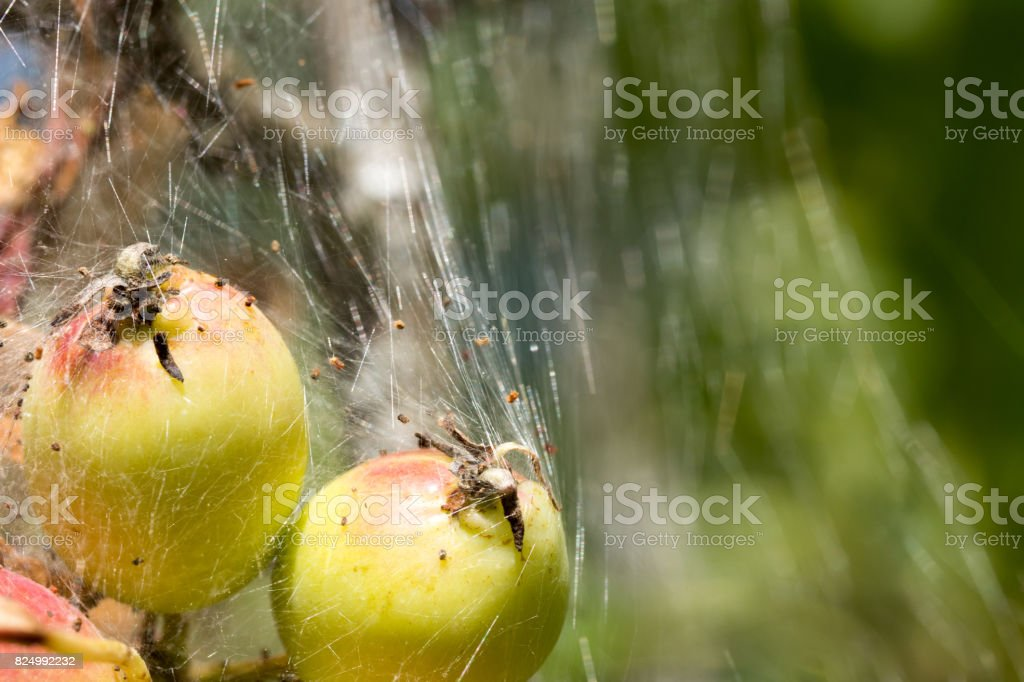 caterpillar silk tent formed around young crab apples stock photo