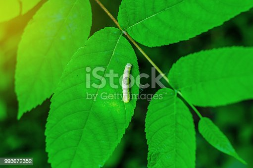 istock caterpillar sitting on a green leaf 993672352