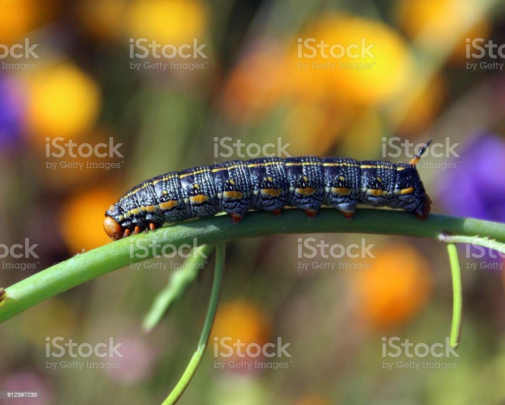 caterpillar sphinx moth stock photo