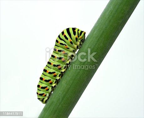 Caterpillar, swallowtail, Papilio, machaon