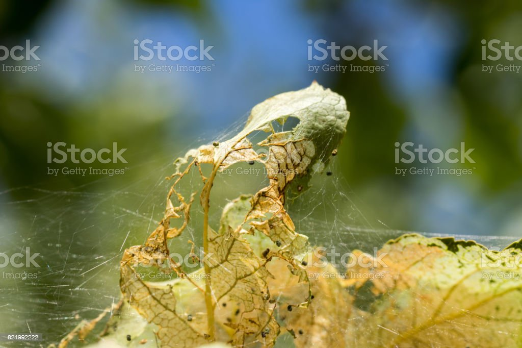 caterpillar tent and leaf detail stock photo