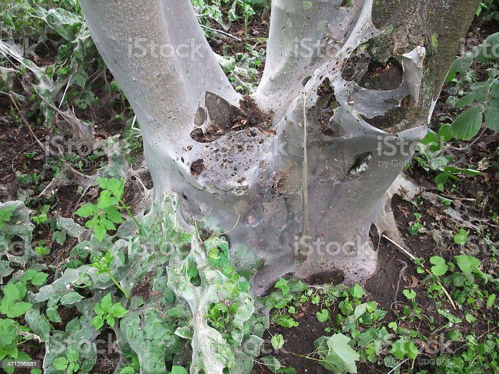 caterpillars - Seitenspinner Raupen royalty-free stock photo