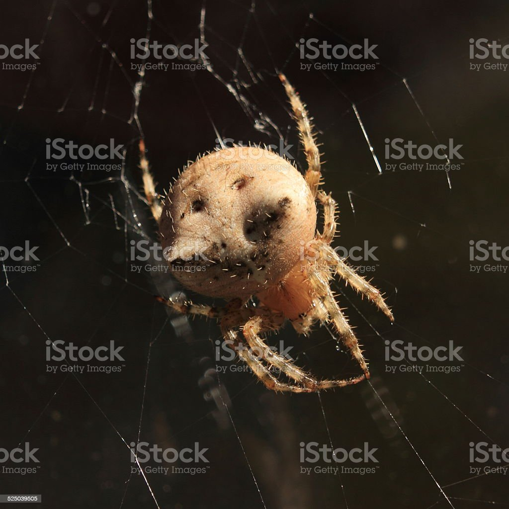 Cat-faced spider on a web. stock photo
