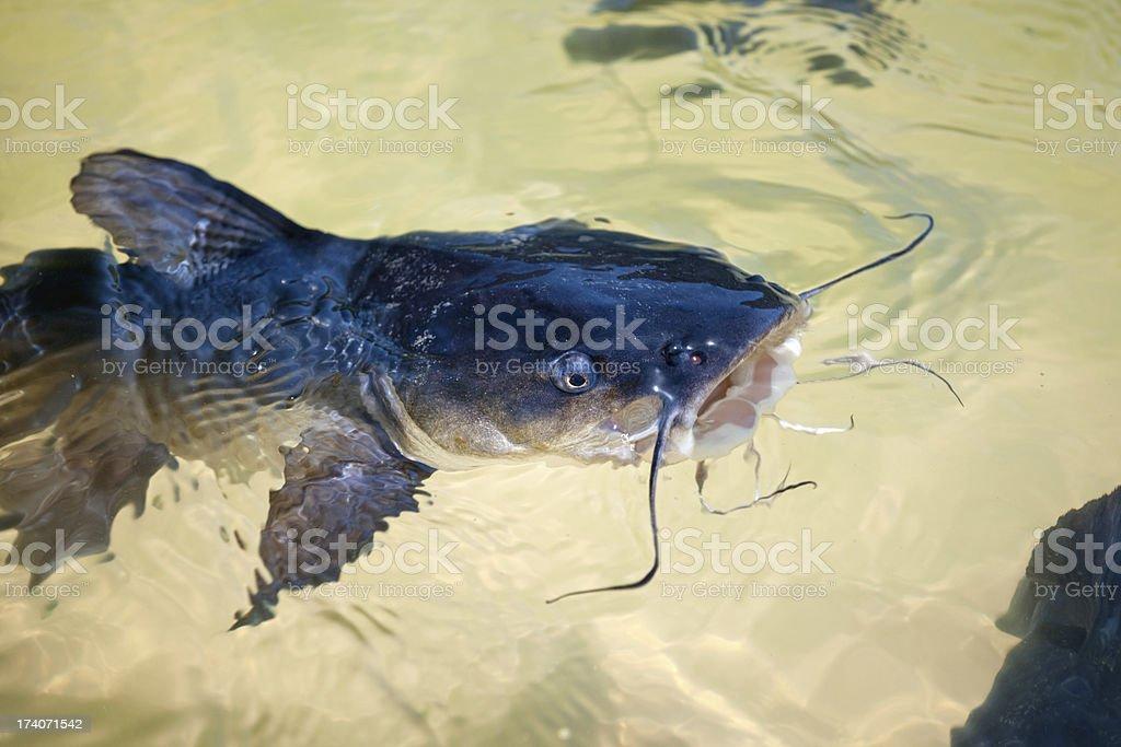 Catfish no Lago Wabby, Fraser Island, Austrália (XXXL) - foto de acervo