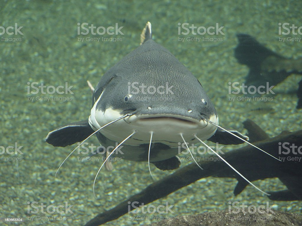 Peixe-gato frontal - foto de acervo