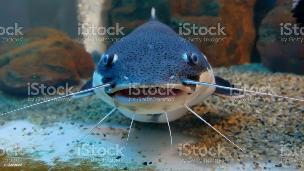 Peixe-gato no aquário oceano. Peixes do oceano no aquário - foto de acervo