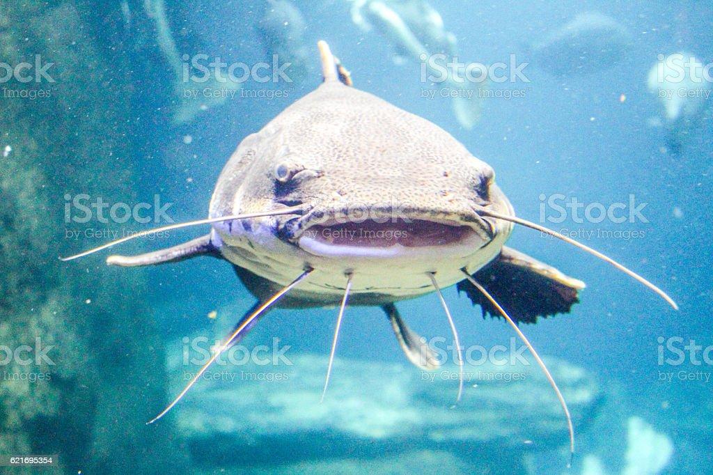 Peixe-gato  - foto de acervo