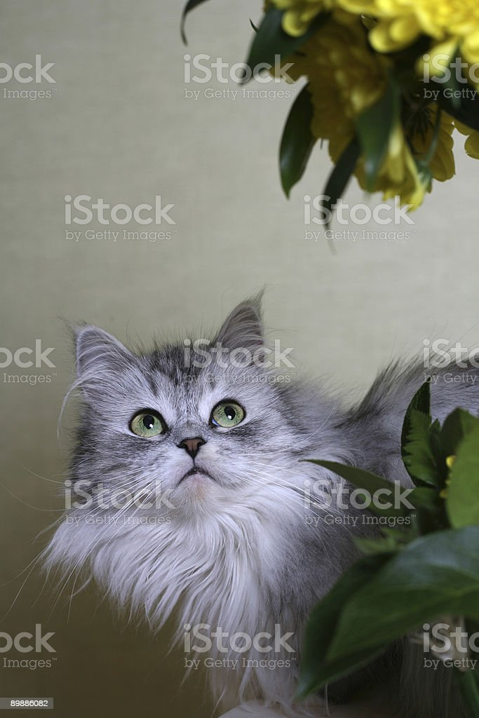 Cat-girl royalty-free stock photo