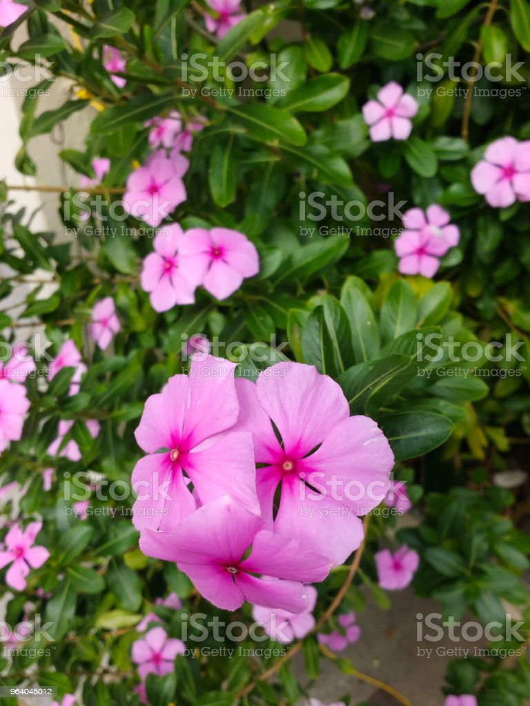 Catharanthus Roseus Delicate Pink Flowers Of Shameless Mary Stock